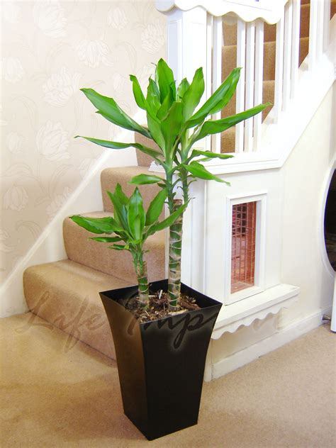 large indoor office house tree  milano gloss pot palm