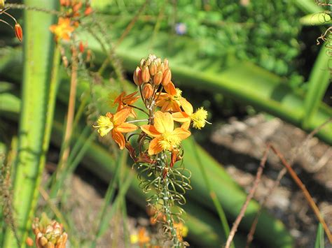 orange stalked bulbine bulbine frutescens orange