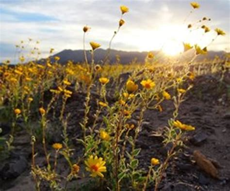 super bloom anza borrego anza borrego wildflowers super bloom more than just early