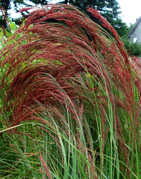 Love Grass Eragrostis Ruby Silk