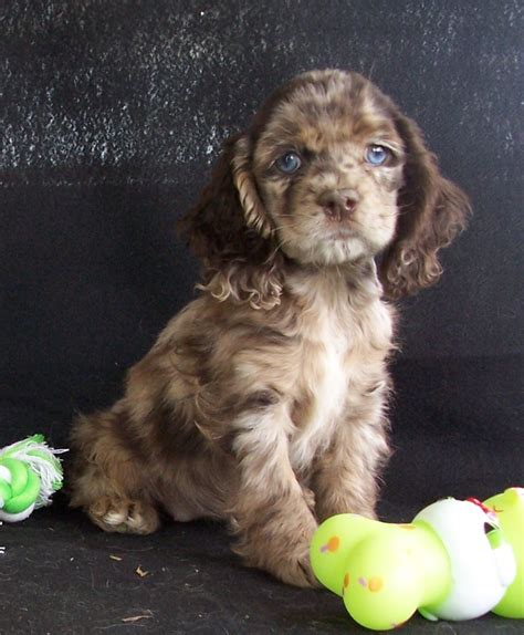 poodle chihuahua mix puppies dachshund poodle mix puppies picture