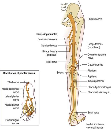 diagram of the sciatic nerve sciatic nerve branches anatomy