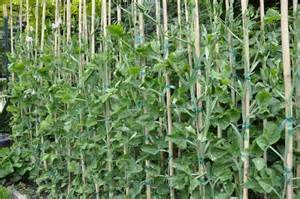 how to grow sweet peas apps directories
