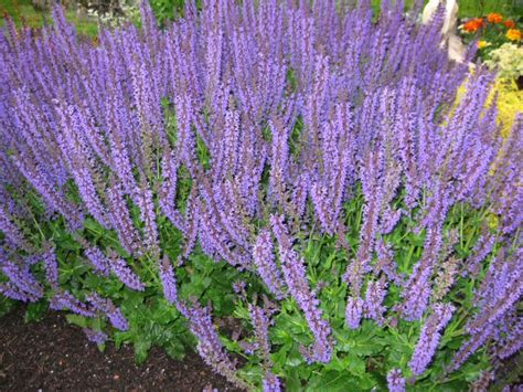 a guide to northeastern gardening best long blooming perennials what are your favorites