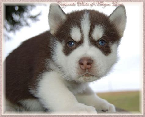 brown and white husky puppy 65 siberian husky puppy pictures and images
