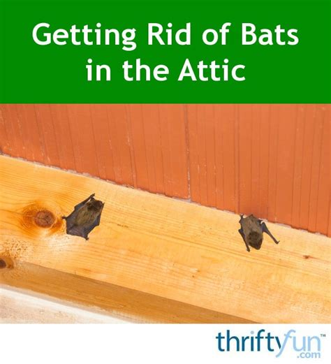how do you get rid of bats in your backyard getting rid of bats in the attic thriftyfun