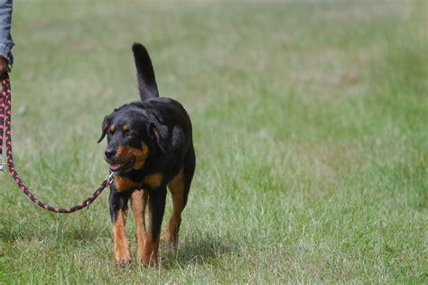 rottweiler walking rottweiler walking by luda stock on deviantart
