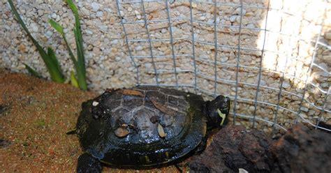 ficha de cuidados tortuga lagarto o mordedora fichas de animales tortuga de florida o japonesa