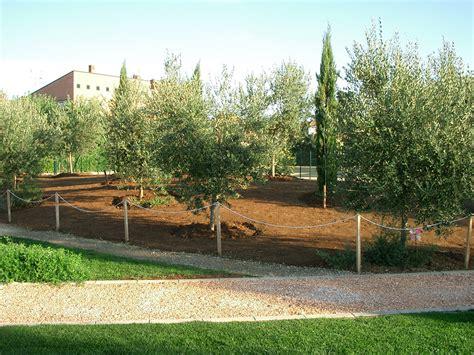 ulivo giardino ulivo olivo il giardino degli angeli
