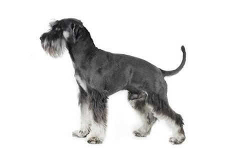 breeders in maryland miniature schnauzer breeders in maryland breeds picture