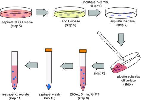 bioreactor cell culture protocol splitting hpscs with dispase stembook