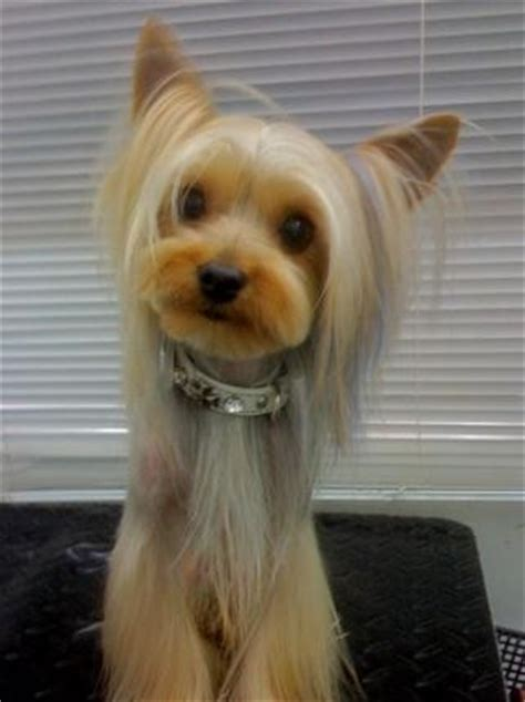 yorkie hair cutes face rounded yorkie with short face parted top knot belled legs