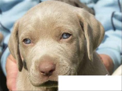 lade berger avis sur crois 233 braque de weimar labrador chiens forum