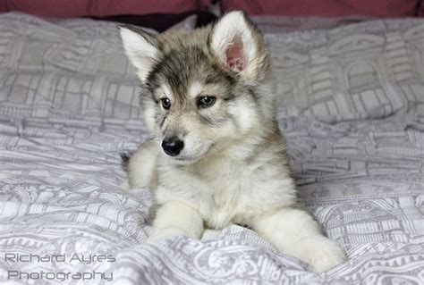 northern inuit for sale wolf alike northern inuit mix puppies manchester greater manchester pets4homes