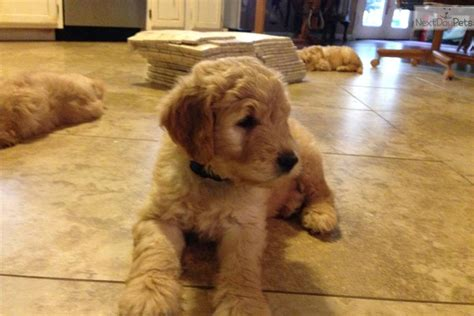 goldendoodle puppy available goldendoodle puppy for sale near joplin missouri