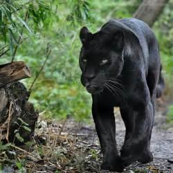 The Jungle Jaguars Jaguar 002 Jungle By Sikaris On Deviantart