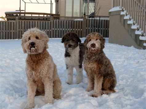 shepherd doodle puppies aussiedoodle animals animal doodle and pup