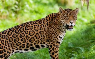 Pic Of Jaguar Jaguar Guyana National Animal