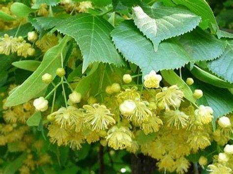 tiglio fiori fiori di tiglio propriet 224 e benefici metodi per dimagrire