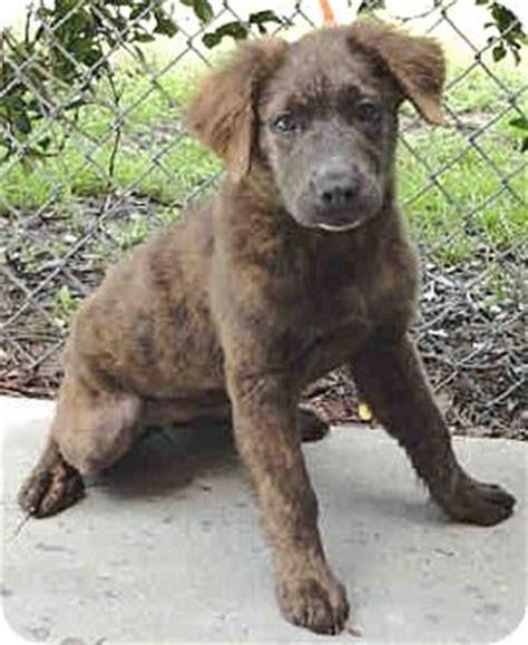 boxer puppies orlando florida jelly adopted puppy jelly orlando fl australian shepherd boxer mix