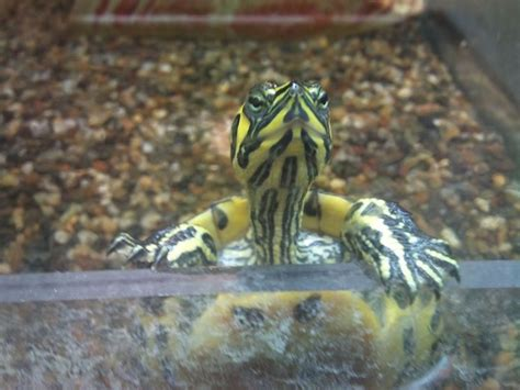lada uvb per tartarughe d acqua acquaterrario per tartarughe tartarughe