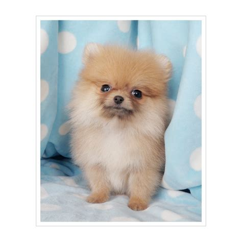 teacup pomeranian for sale chicago the 25 best pomeranian puppies for sale ideas on pomeranian for sale