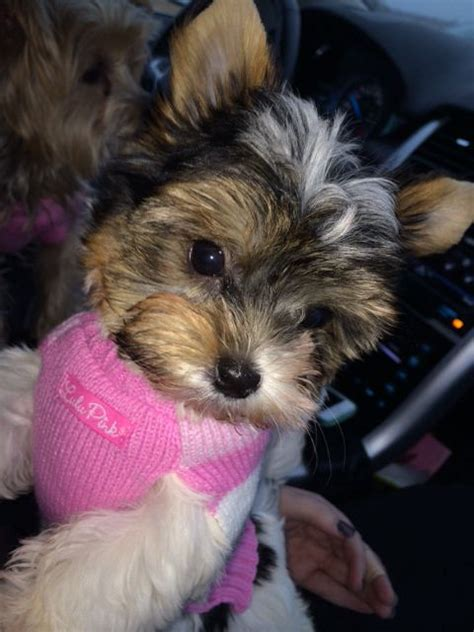 biewer yorkie maltese mix pin teacup biewer puppies for sale on