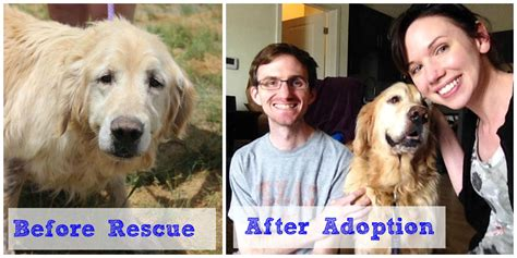 golden retriever rescue dc sawyer the golden retriever is adopted dc paws rescue
