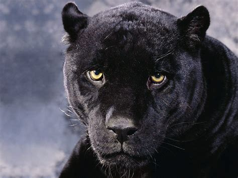 black panther animals zoo park black panther wallpapers animals hq