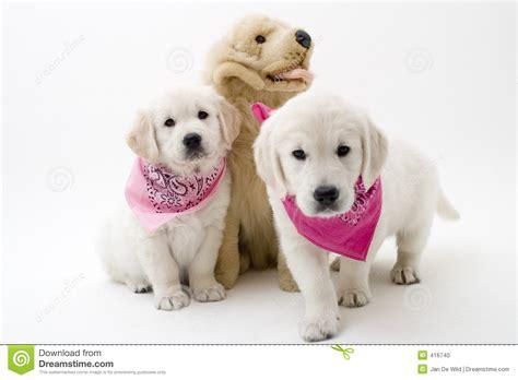 los perritos havanese perritos lindos foto de archivo imagen 416740