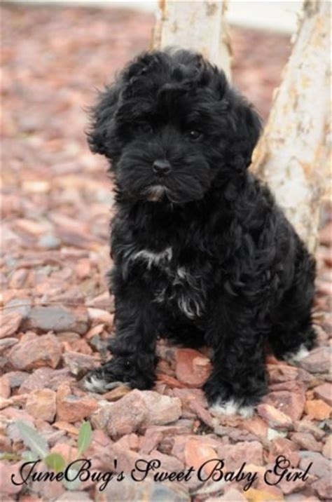 black fluffy puppy black fluffy puppies www pixshark images galleries with a bite