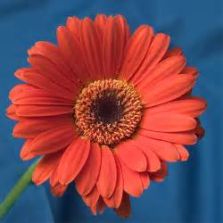 How To Put Roses In Vase Gerbera Flower Facts Gerbera Flower Meaning Color