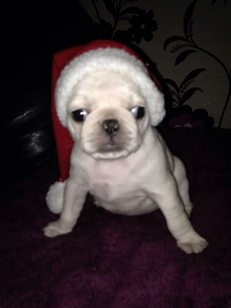 all white pugs all soldchinchilla white pug puppies oldham greater manchester pets4homes