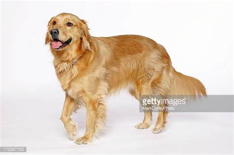 golden retriever up golden retriever stock photos and pictures getty images