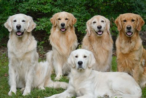 with golden retriever golden retrievers golden retriever club of canada