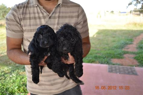 labradoodle puppies for sale by reputable dog breeders labradoodle puppies for sale by reputable dog breeders