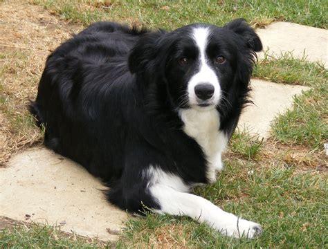 border collie border collie puppies rescue pictures information temperament characteristics
