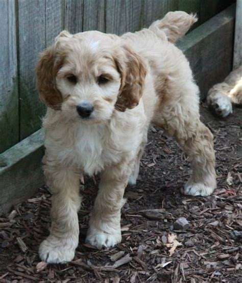 cockapoo puppies for sale in sc best 25 cockapoo puppies for sale ideas on cockapoo for sale cockapoo