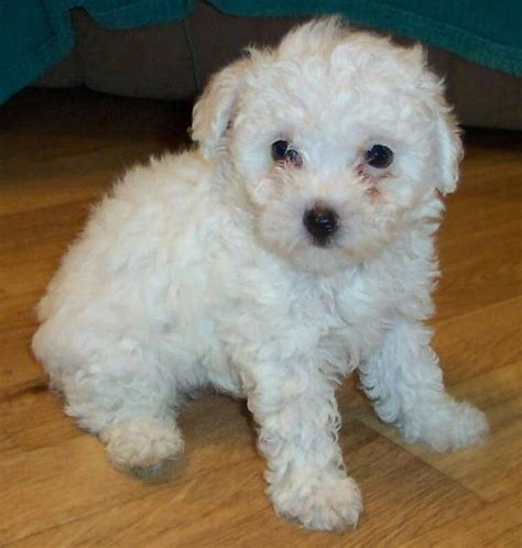 white poodle puppies sweet looking white parti poodle puppy photo jpg hi res 720p hd