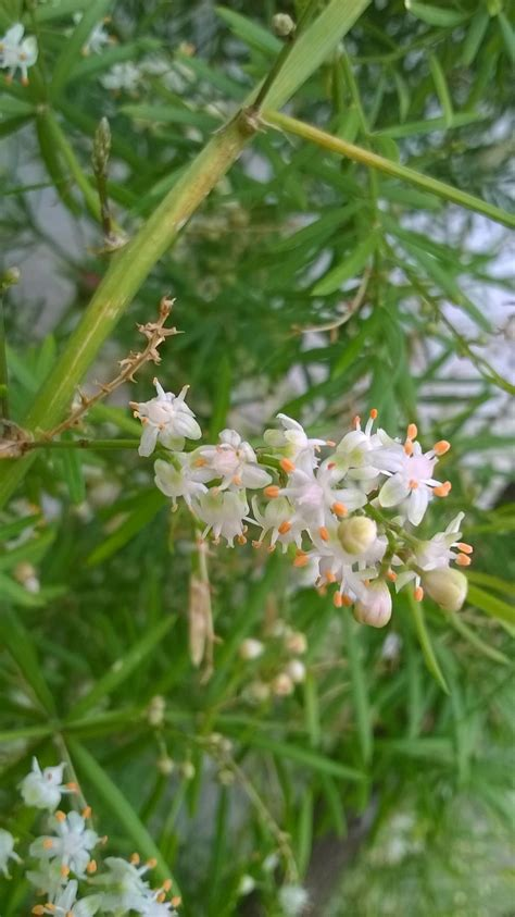 identification what is this spiky leaved white flowered