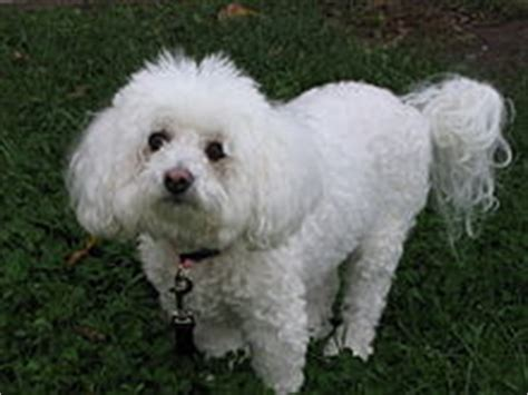 Bichon Frise Also Search For Bichon Fris 233 Wiktionary