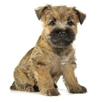 brindle cairn haircut cairn terrier training learn all about training cairn