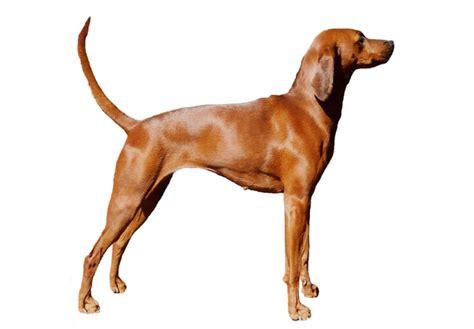 purebred redbone coonhound puppies for sale redbone coonhound puppies for sale akc puppyfinder