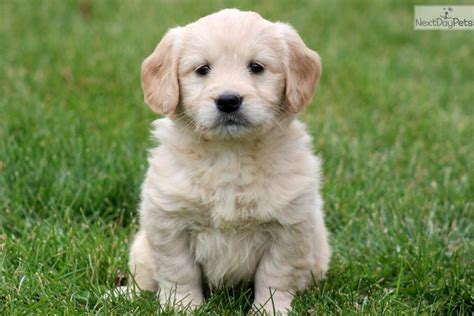 goldendoodle puppy goldendoodle puppy for sale near lancaster pennsylvania