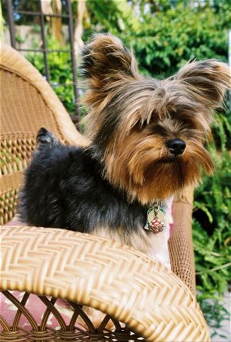 10 lb yorkie mrs yorkie author at weddingbee
