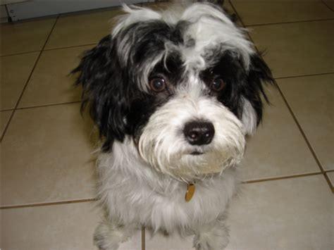 morkies wikipedia file morkie puppy maltese like png wikipedia