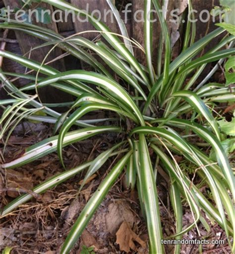 green and white foliage plants spider plant ten random facts