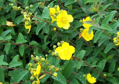 johanniskraut garten hypericum callycinum johanniskraut gelbe bl 252 ten juli