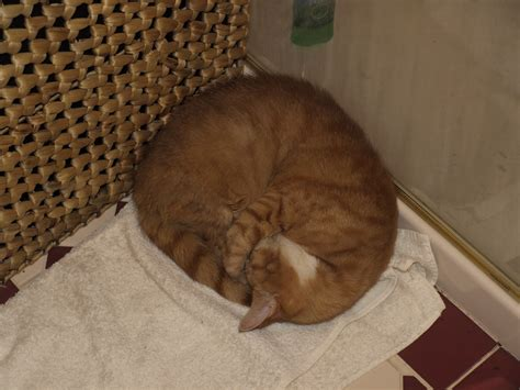 Curled Up On The by File Sleeping Cat Curled Up Jpg Wikimedia Commons