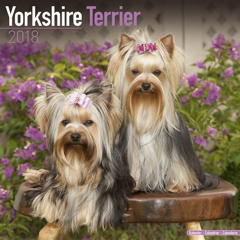 yorkie 2018 calendar books terrier calendar 2018 pet prints inc